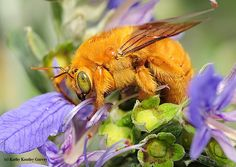 The male Valley carpenter bee (Xylocopa varipuncta) is the color of honey, but this species does not make honey. Although the male is blond, the female of this species is a solid black. (Photo by Kathy Keatley Garvey) - http://ucanr.edu/blogs/blogcore/postdetail.cfm?postnum=20642
