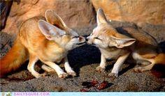 Fennec Kisses