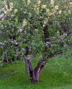 Gammelt epletre.
