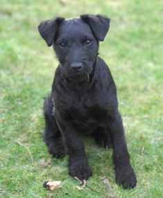 Patterdale Terrier Information and Pictures, Patterdale Terrier