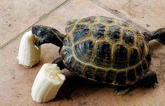 I have seen numerous suggestions for Russian tortoise diet Some great Some awful. Russian Tortoises are nibblers and appreciate broad leaf plants. Tortoise Food, Tortoise Habitat, Sulcata Tortoise, Tortoise Care, Tortoise Turtle, Turtle Time, Pet Turtle, Tortoise Enclosure, Amazing Animal Pictures