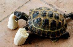 Russian Tortoise Eating Banana