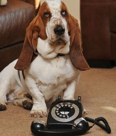 Basset Hound Saves Own Life by Calling Emergency Number A police team in the U.K. responding to an emergency call found an unusual individual in need: George the Basset Hound. According to The Sun, the 2-year-old dog accidentally tangled himself in the cord of a house phone, wrapping the wire around his neck.In a panic from choking, the dog began pawing at the phone and luckily dialed 999, the United Kingdom's version of 911.