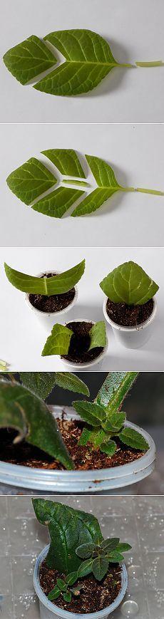 Размножение глоксиний (фрагментами лиса и листовыми черенками).