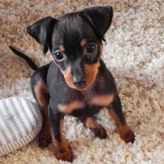Race de chien : Pinscher nain