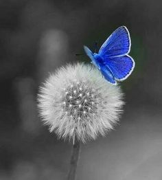 Witness the stunning blue butterfly on the fragile dandelion. The humble dandelion flower provides vitamin K to strengthen bones. Butterfly Kisses, Blue Butterfly, Butterfly Wings, Morpho Butterfly, Blue Morpho, Butterfly Dragon, Monarch Butterfly, Beautiful Creatures, Animals Beautiful