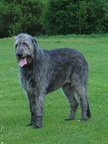 7 Most Affectionate Loving Large Dog Breeds Dogs 101 Big Dogs, Large Dogs, Small Dogs, Irish Wolfhound Dogs, Big Dog Breeds, Short Dog, Diy Dog Costumes, Aggressive Dog, Maine Coon
