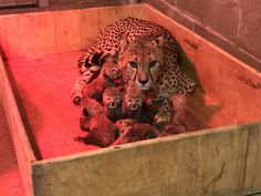 Protective super cheetah mom Bingwa and her eight cubs at the Saint Louis Zoo.  Saint Louis Zoo photo www.stlzoo.org/cheetahcubs