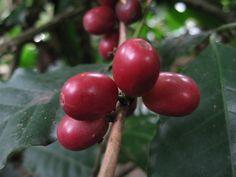 Kaffe – verdens nest største handelsvare, etter olje og gass