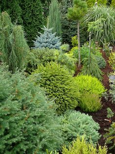 Landscape Trees And Shrubs Small Yards Super Ideas Evergreen Landscape, Evergreen Garden, Evergreen Shrubs, Trees And Shrubs, Winter Landscape, Small Garden Conifers, Garden Shrubs, Lawn And Garden, Backyard Shade