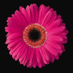 Gerbera Daisy Pink Art Print by Christensen, Jim 8 x Pink Framed Art, Pink Wall Art, Framed Art Prints, Framed Wall, Pink Gerbera, Pink Daisy, Gerbera Daisy Tattoo, Daisy Art, Purple Flowers