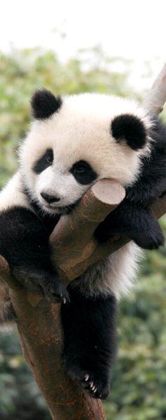 Sleepy panda bear
