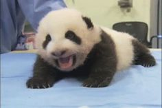 This sleepy panda.   42 Bear GIFs That Will Give You Life In 2014