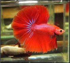HM Orange Red Male
