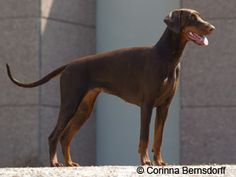 Brown Dobermann | © Corinna Bernsdorff