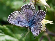 Kalliosinisiipi, Scolitantides orion - Perhoset - LuontoPortti