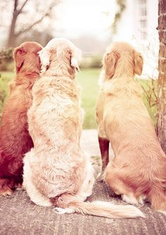 When I grow up I will have 3 golden retrievers. :)