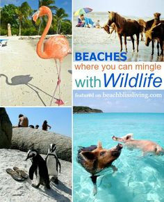 Wildlife Beaches: Awesome beaches where you can mingle with flamingos, horses, penguins and pigs! Featured on Beach Bliss Living: http://beachblissliving.com/wildlife-beaches/ Best Beaches
