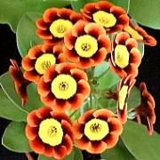 The National Auricula and Primula Society, The flower society for auriculas and primulas