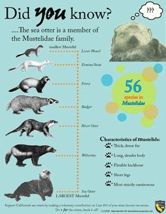 Ferrets related to otters--not considered rodents like rats or hamsters...