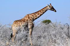 Giraffe in Etosha National Park - Namibia.
