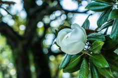 https://flic.kr/p/u2SkfX | magnolia grandiflora | 泰山木の花