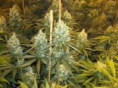Casey Jones http://SmokeWeedEveryday.Org for More Weed Fun!