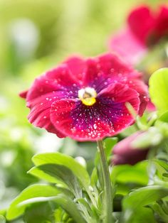 Pansy Cool weather is just what pansy prefers. It's an annual that gardeners flock to because it's one of the best flowers to plant in spring for early-season containers and window boxes, relishing the variety in petal color as much as the cheery uplifted blooms.