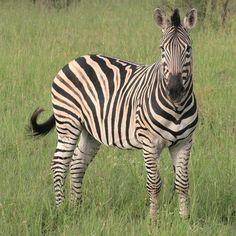 Zuid-Afrika - Krugerpark. Zebra's zijn met grote aantallen aanwezig - hun aantal wordt geschat op 30.000. Foto: G.J. Koppenaal - 2/2/2012