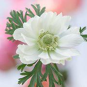 Anemone coronaria - garden anemone