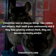 Chinchillas love to chew on things. Like rabbits and beavers, their teeth grow continuously and if they keep growing without check, they can become extremely painful. Lion Facts, Tiger Facts, Cat Facts, Weird Facts, Dolphin Facts, Whale Facts, Dinosaur Facts, Chinchilla Facts, Chinchilla Cage
