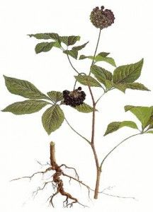 Eleuthero (Siberian Ginseng) – Health Benefits and Side Effects