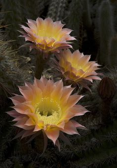 Echinopsis 'Celeste' - 5/17/13 [Explored] by The Huntington Library on Flickr.