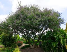 Chaste Tree - Monrovia - Chaste Tree Vitex agnus-castus USDA Hardiness Zone: 5 - 9 Beautiful garden or patio tree shows terminal clusters of fragrant lilac blooms. Broad and spreading, effective multi-trunk display. Can be trained for use in shrub border. Thrives in heat. Deciduous. Average landscape size:Fast grower to 15 to 25 ft. tall and wide. Special features:Attracts Butterflies, Easy Care Foliage color:Gray-green Blooms:Summer Flower color:Purple Flower attributesFragrant, Showy…