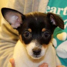 Bounce is an adoptable Toy Fox Terrier Dog in Auburn, NE. Bounce, Downy and Snuggle were rushed to the shelter in an emergency situation, having been discovered almost dead from hypothermia and dehydr...