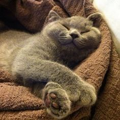 When it comes to cats we all know that our feline friends absolutely love to snooze nap and siesta their way through the day so lets dig a little deeper into the meanings behind cat sleeping patterns positions and behaviors. Exotic Shorthair, British Shorthair, Blue Cats, Grey Cats, Chartreux Cat, Cat Sleeping, Beautiful Cats, Cat Breeds, Cat Life