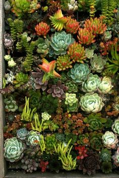succulents, echeverias, sedums and crassulas in a wall garden