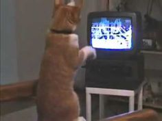 Cat learns how to box watching a boxing match. Priceless!