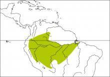 Dusky-capped Greenlet (Hylophilus hypoxanthus)