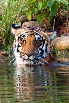 Panthera Tigris by Brainstuck on Flickr.