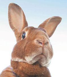 The Regal Rex Rabbit.