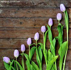 hello tulips! still life photography by Panka Milutinovits