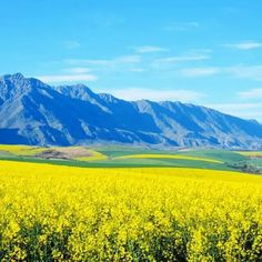 <b>Canola</b> <b>fields</b>, Swellendam, <b>Western</b> <b>Cape</b>, South Africa Canola Field, Fields Of Gold, Cape Town, Countryside, South Africa, Places To Go, Mountains, Travel, Image