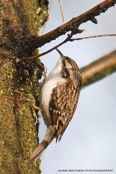 We hope a few of you saw the wonderful Treecreeper during the #birdwatch
