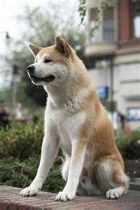 We have a husky/Akita dog mix now Hachiko Dog, Japanese Akita, Japanese Dogs, Akita Dog, Beautiful Dogs, Animals Beautiful, Cute Animals, Hachi A Dogs Tale, Cutest Animals