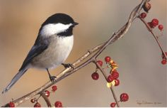 Some related birds to the black capped chickadee are the Boral chickadee, Carolina chickadee, and the blackpoll Walber. Description from k12.nf.ca. I searched for this on bing.com/images