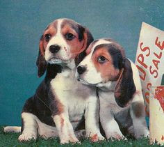Beagle Pups For Sale 1957 Vintage Postcard Used by EphemeraObscura, $2.50