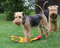 "Welsh Terrier Asta & Polly after the ""Hunt"""