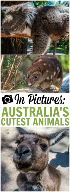I didn't realise just how diverse, unique and devastatingly cute a lot of Australia's animals were. Yes, I knew of koalas of course, and kangaroos, but I hadn't even reckoned on how lovely they would be when I got up close and personal with them. And then there were a whole host of other incredible species I hadn't reckoned on at all. So in celebration of native Australian animals, here is a collection of cute animals from our Australian travel adventures.