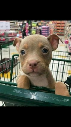 Pitbulls baby puppies, pit bull puppies, cute puppies, cute dogs, dogs and Cute Baby Animals, Animals And Pets, Funny Animals, Beautiful Dogs, Animals Beautiful, I Love Dogs, Puppy Love, Pitbull Terrier, Cute Dogs And Puppies